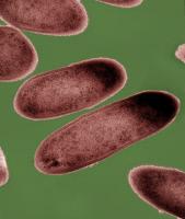 Oribacterium sinus