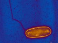 Legionella pneumophila et son flagelle