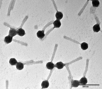 Bactériophages de Pseudomonas aeruginosa
