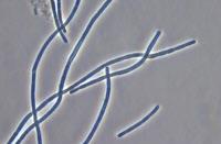 Cyanobactérie Geitlerinema souche PCC 8501
