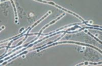 Cyanobactérie Nostoc souche PCC 9024
