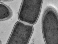 Septum de Clostridium botulinum
