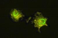 Infection de macrophage par le virus de la fièvre de la vallée du Rift