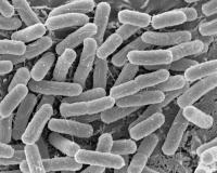 Escherichia coli 0104:H4 sur cellules épithéliales