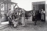 Récolte du sérum sur les chevaux vers 1900/1910