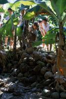Gîtes larvaires de moustiques : coques de noix de coco