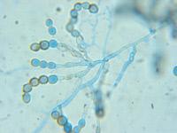 Polypaecilum sp