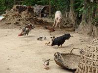 Elevage de volailles et porc en Asie