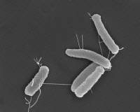 Bactéries Escherichia coli en microscopie electronique à balayage
