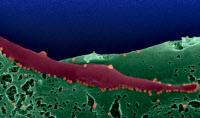 Chikungunya bourgeonnant à la surface de cellules infectées de moustique Aedes albopictus.