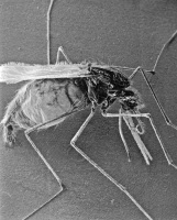 Anopheles sp