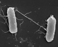 Bactéries Salmonella enterica en microscopie à balayage
