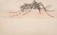 Stegomyia fasciata (Aedes aegypti). Dessin de Paul-Louis Simond.