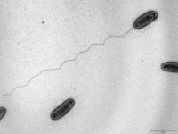 Bactéries Legionella pneumophila, responsable de pneumopathie aigue grave. Microscopie électronique.