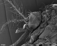 Tête de moustique femelle Aedes albopictus