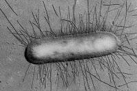 Bactérie Escherichia coli