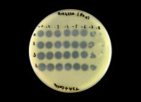 Bactériophages éliminant la bactérie Staphylococcus aureus sur une boite de Petri