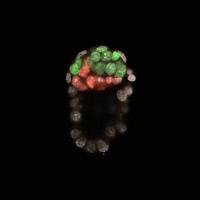 Blastocyste de souris au moment de l'implantation