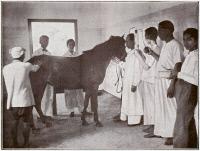 Inoculation d'un cheval producteur de sérum antipesteux