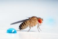 Drosophila melanogaster, mouche du vinaigre