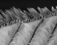 Aile de moustique Anopheles gambiae vue en microscopie électronique à balayage.