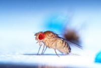 Mouche du vinaigre, Drosophila melanogaster.