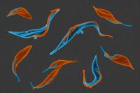 Mélange de trypanosomes à flagelles de longueur normale ou réduite