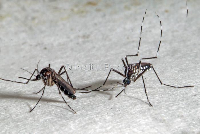 Aedes albopictus, moustique vecteur de la dengue et du Chikungunya