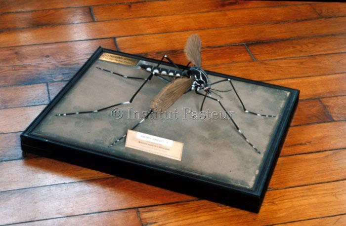 Maquette de moustique Aedes aegypti femelle