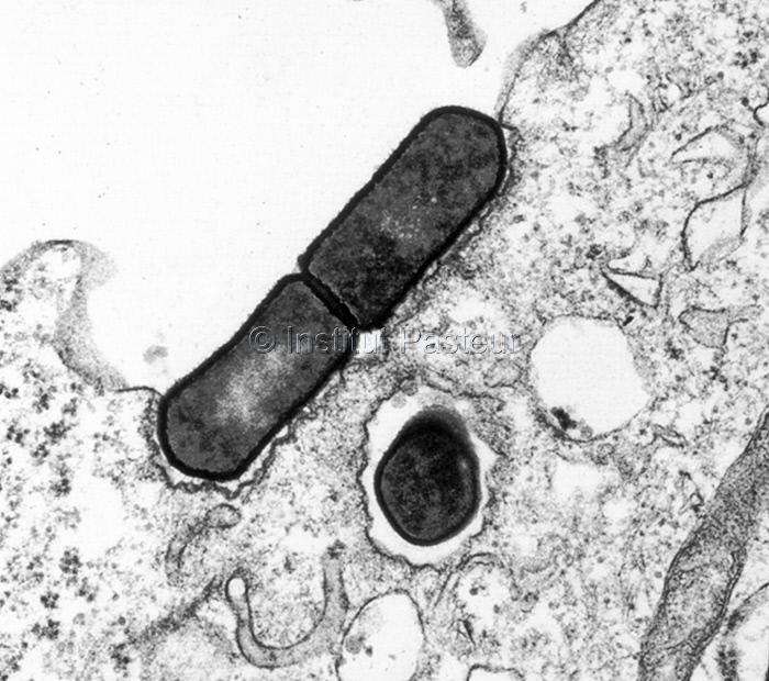 Listeria monocytogenes pénétrant dans une cellule intestinale humaine en culture