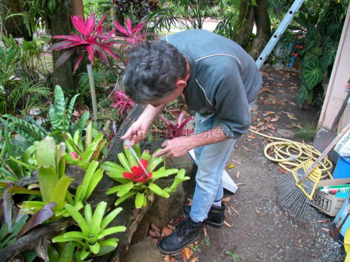 Recherche de larves de culicidés dans Broméliacées