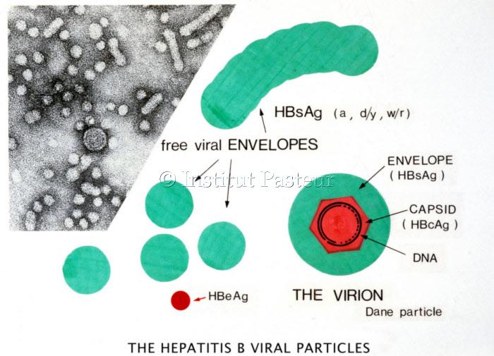 Structure des particules virales de l'hépatite B