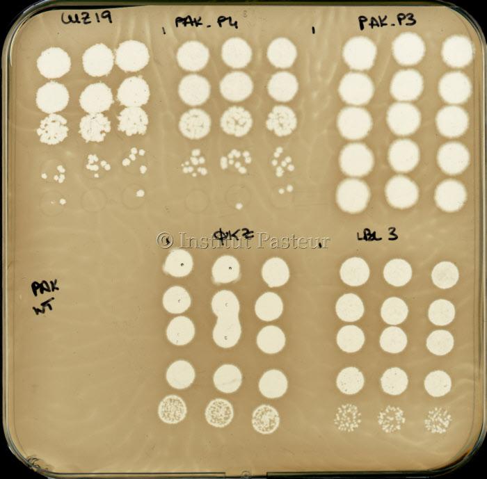 Titrations en triplicat de solutions de différents bactériophages infectant Pseudomonas aeruginosa