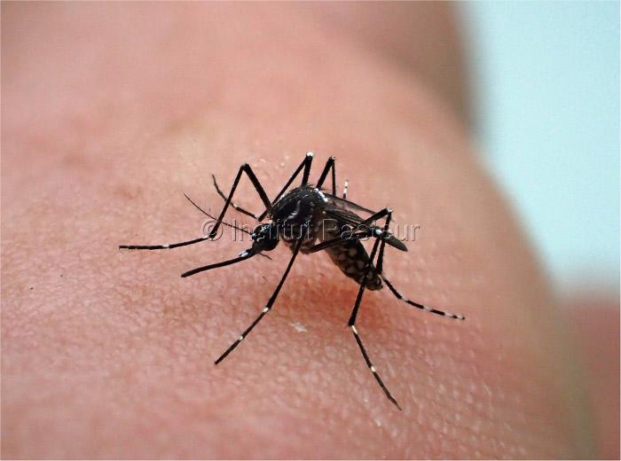 Femelle d'Aedes aegypti, élevée au Vectopôle de l'Institut Pasteur de la Guyane