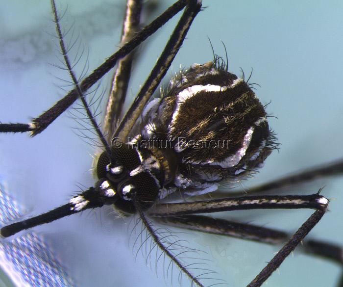 Femelle d'Aedes aegypti, élevée au Vectopôle de l'Institut Pasteur de la Guyane.