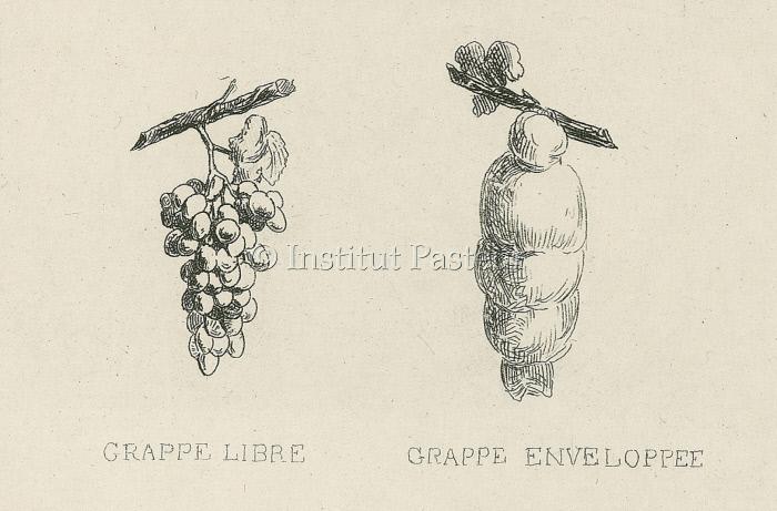 Grappe de raisin enrobée dans du coton.
