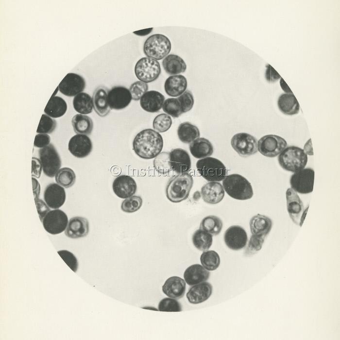 Levures de bière vues au microscope