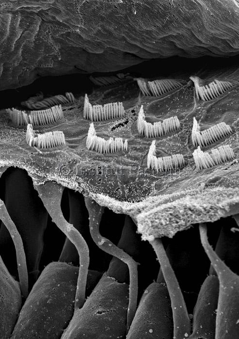 Cellules sensorielles auditives de l'oreille interne, vue en microscopie électronique à balayage.