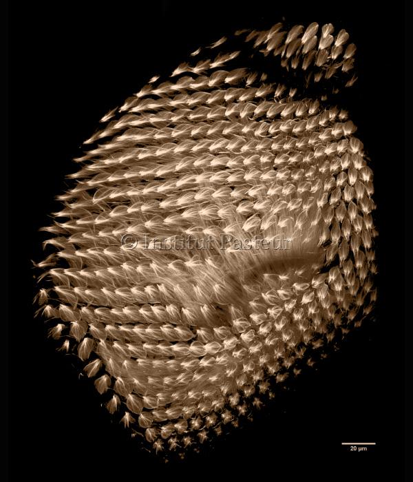 Réseau de microtubules dans l'œil pupal de la drosophile